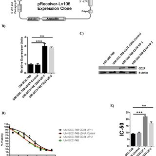 MODULATION OF CD24 EXPRESSION DIRECTLY AFFECTS THE GENE