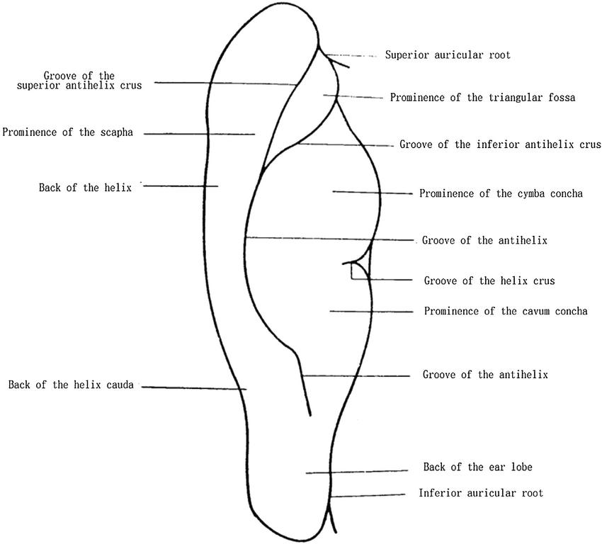 Posterior Auricular Anatomy