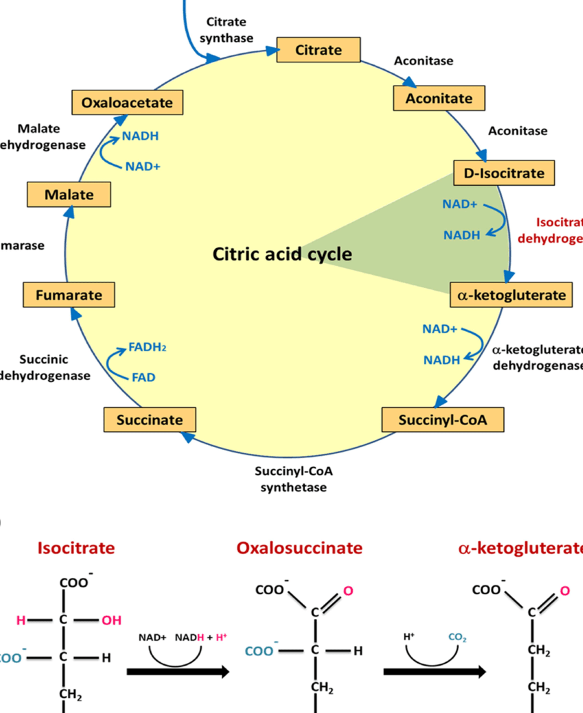 medium resolution of citric acid cycle and nad dependent idh action a the rate