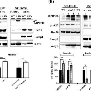 MPR300 preferentially localizes in late endosomes in ASOTg