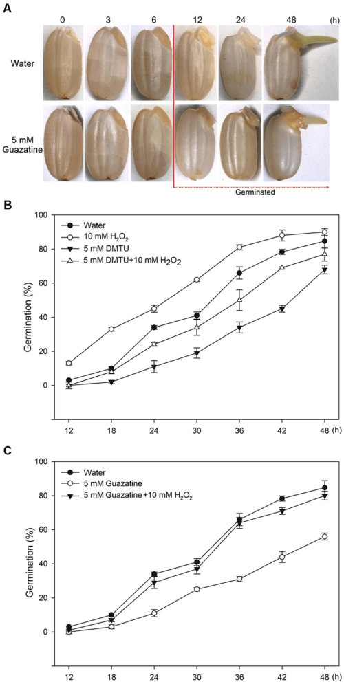 small resolution of morphologies and germination time courses of rice seeds a morphologies of rice seeds