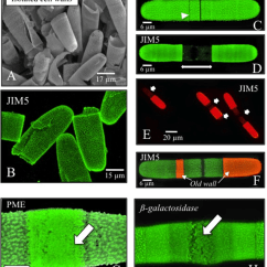 Human Cell Wall Diagram Labeled Jet Turbine The And Labeling With Mabs A Vpsem Image Of Isolated Download Scientific