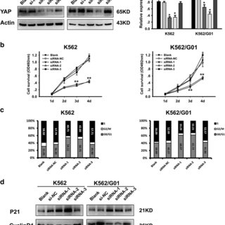Silencing of YAP induces apoptosis of CML cells. a The