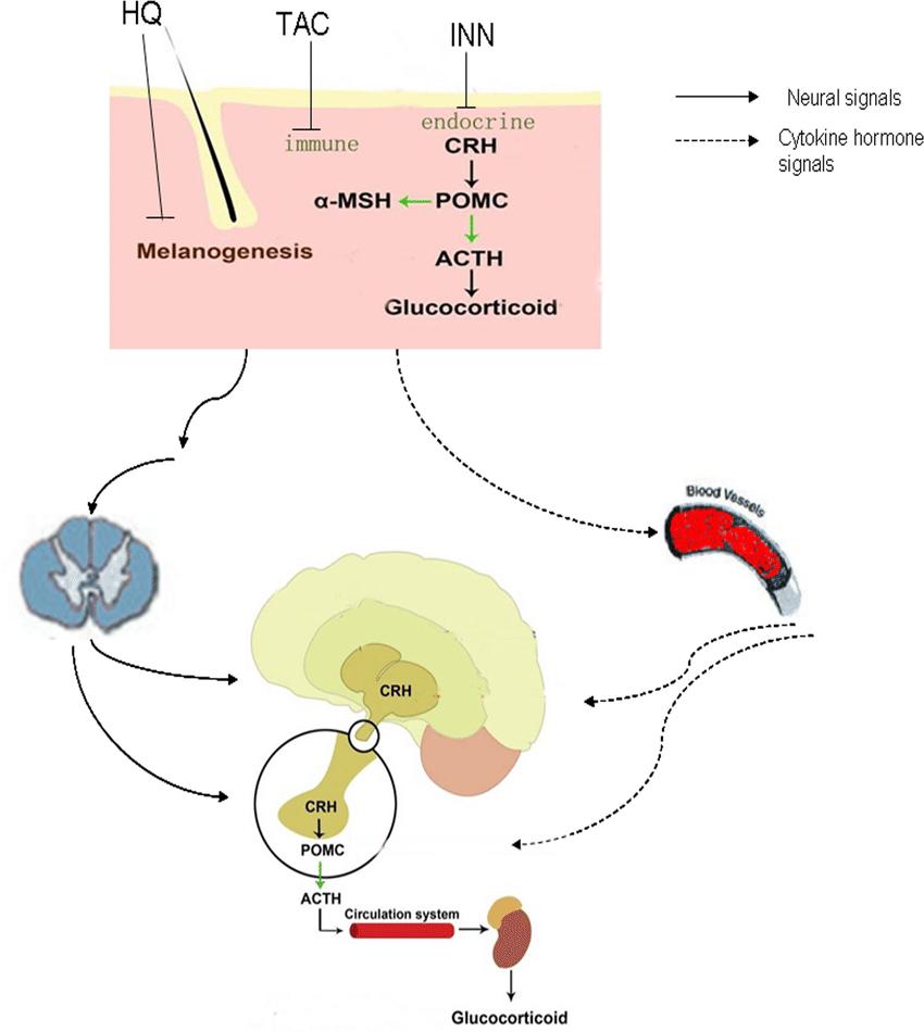 hight resolution of skin brain cross talk upon exposure to hq inn and tac skin