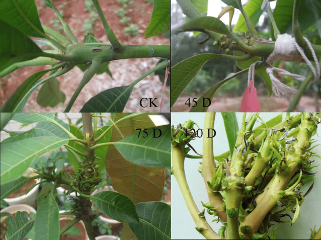 Mango Malformation Disease MMD