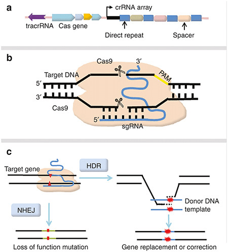 in vivo gene therapy diagram ceiling fan wiring with capacitor connection schematic representation of crispr-cas9-mediated genome editing. (a)... | download scientific ...