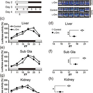 (PDF) L-Ornithine affects peripheral clock gene expression