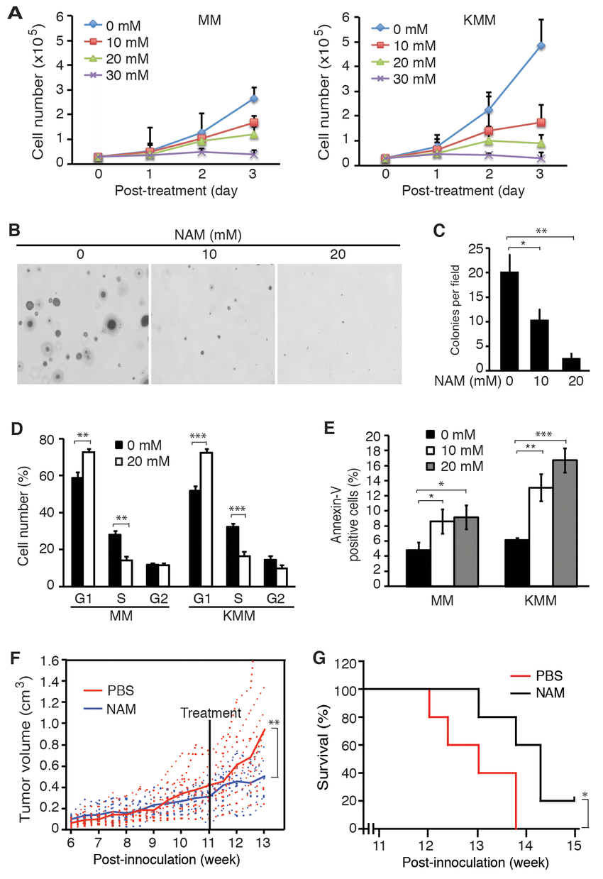 SIRT1 inhibitor NAM suppresses cell proliferation and
