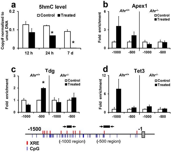 Ahr-driven active demethylation involves 5 hmC and active