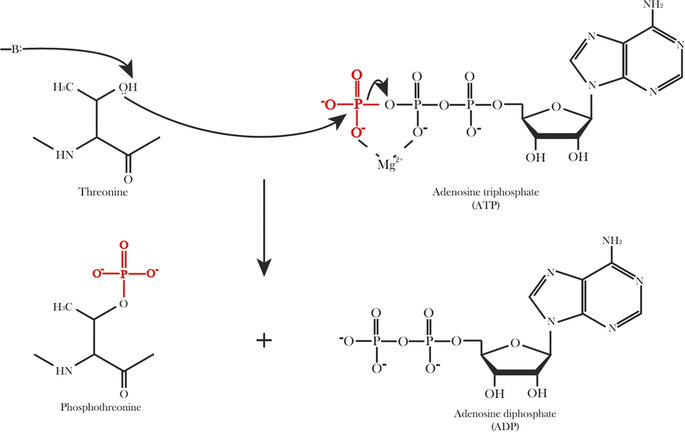 The schematic diagram of threonine phosphorylation