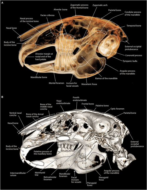 small resolution of a maxillofacial anatomy of a rabbit as viewed on tooth view 3d volume render