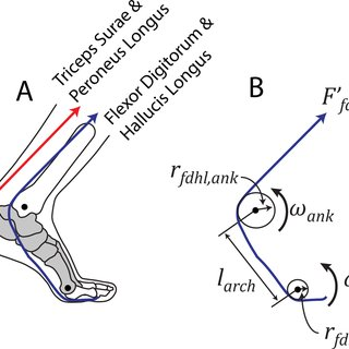 Conceptual summary of ankle joint vs. muscle-tendon-unit