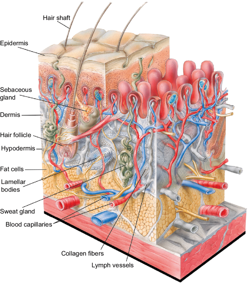 hight resolution of structure of human skin notes the outer layer of the epidermis the download scientific diagram
