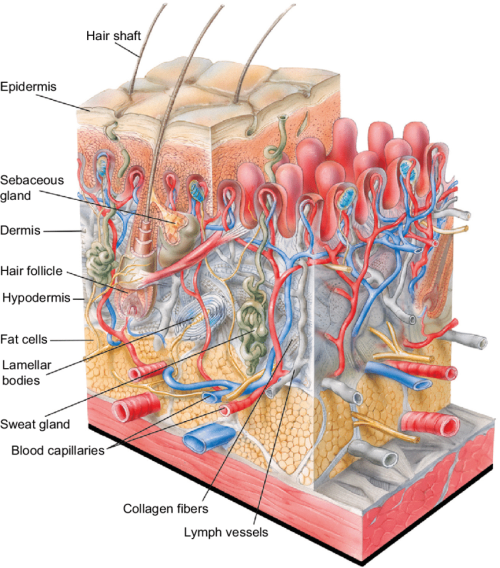 small resolution of structure of human skin notes the outer layer of the epidermis the download scientific diagram
