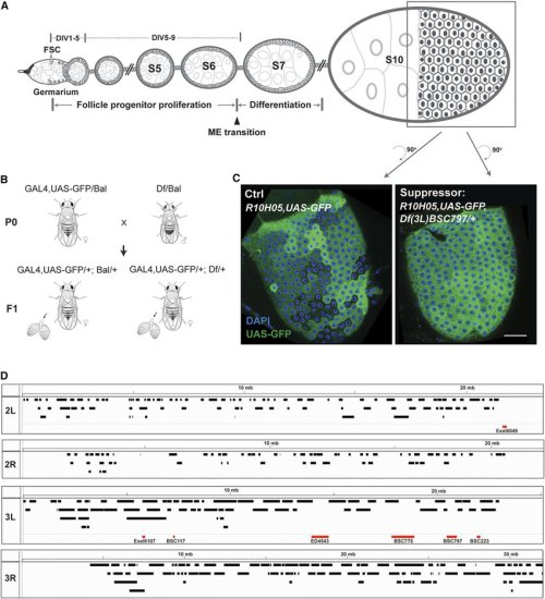 small resolution of a deficiency screen to identify dominant modifiers of gal4 uas variegation in ovarian follicle