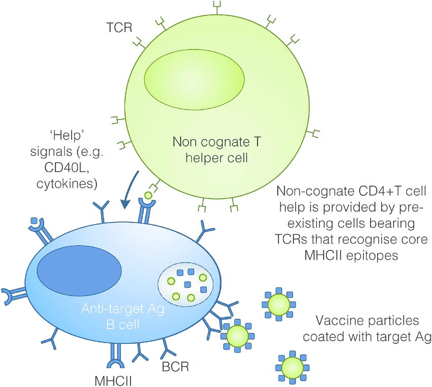 Vaccine mechanism of action. Pre-existing non-cognate CD4+ T cell help... | Download Scientific Diagram