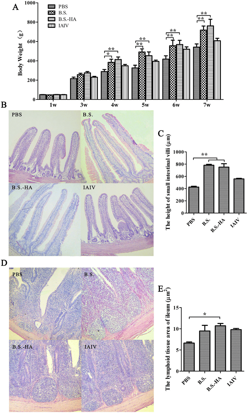 hight resolution of changes of body weight small intestinal villi height and lymphoid tissue area a