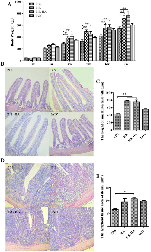 small resolution of changes of body weight small intestinal villi height and lymphoid tissue area a