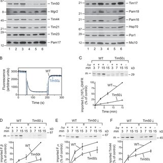 (PDF) Two distinct membrane potential-dependent steps