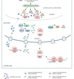 schematic representation of ribosome biogenesis rdna ribosomal dna pol i polymerase i [ 850 x 1133 Pixel ]
