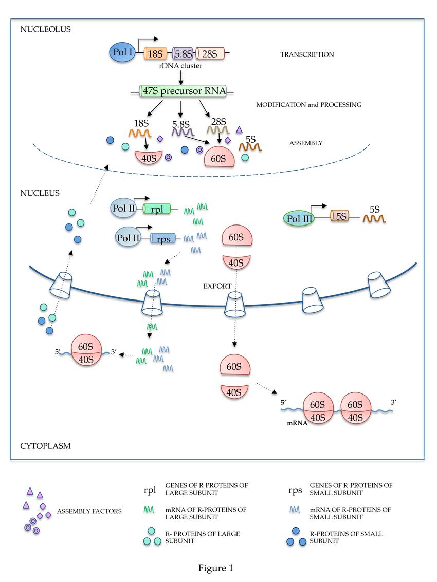 hight resolution of schematic representation of ribosome biogenesis rdna ribosomal dna pol i polymerase i
