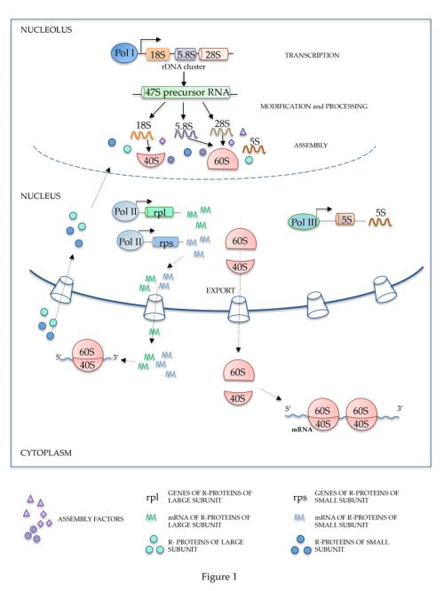 small resolution of schematic representation of ribosome biogenesis rdna ribosomal dna pol i polymerase i