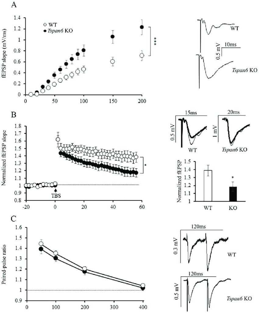 Tspan6 KO mice show an increased basal synaptic