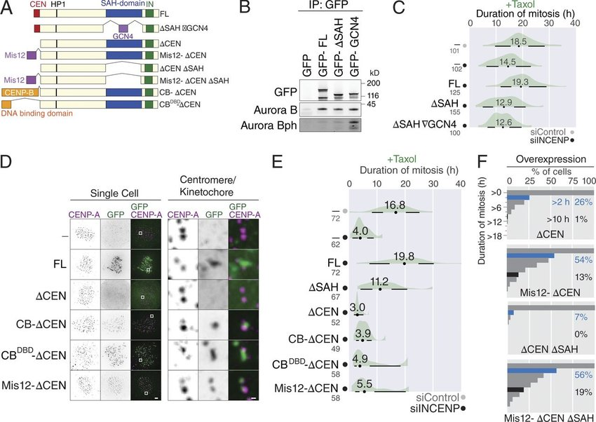 The SAH domain is required for CPC localization at the