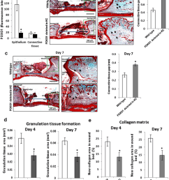 keratinocyte specific deletion of foxo1 impairs connective tissue healing in dermal wounds dermal wounds [ 850 x 1104 Pixel ]