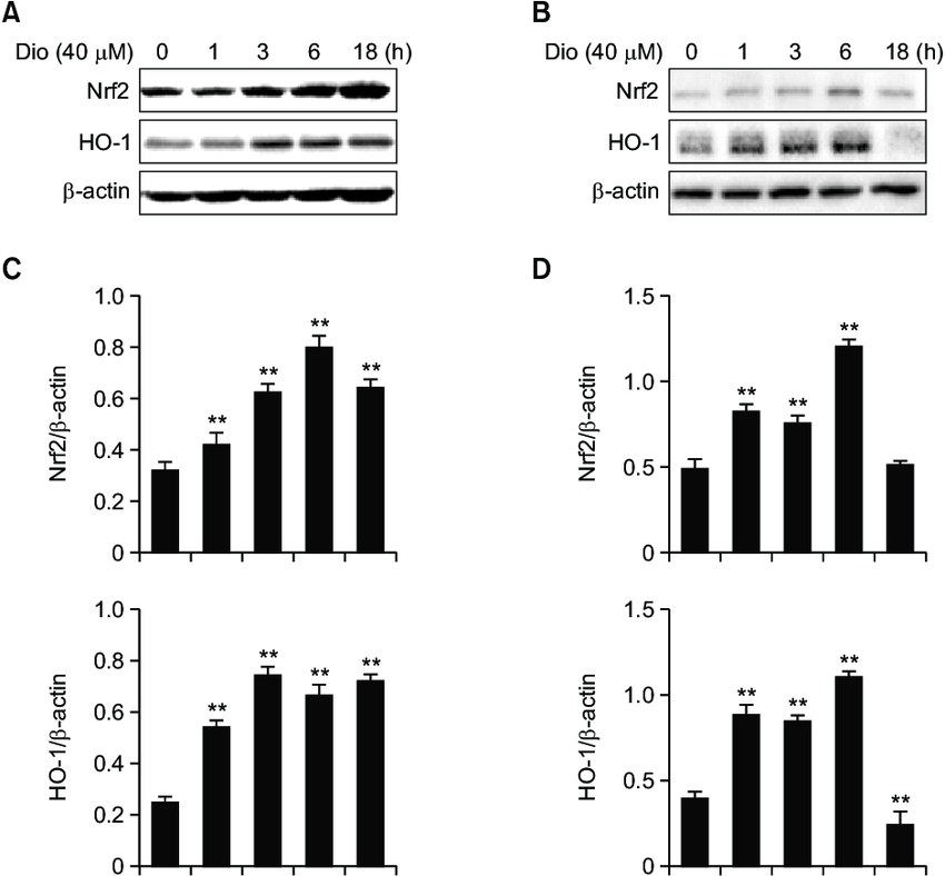 Effect of diosmetin on Nrf2/HO-1 pathway in vitro. (A, B
