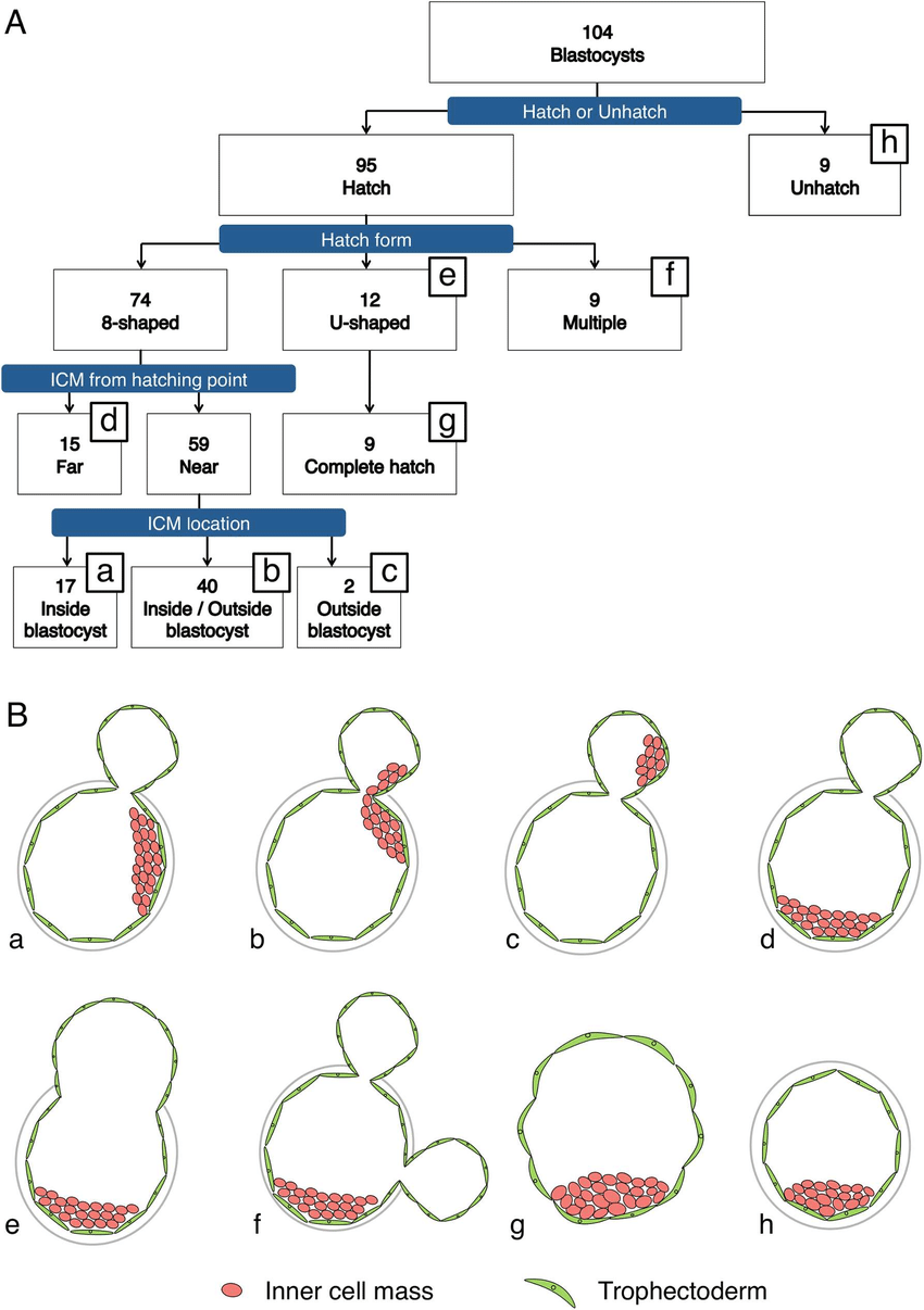 medium resolution of sorting and evaluation of blastocysts flowchart a and schematic of the morphology at