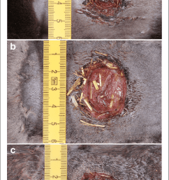 the wounds show varying degree of scab formation  [ 702 x 1318 Pixel ]