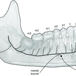 Human Mandible Diagram Hss Strat Wiring 1 Volume Tone Internal Canal System Of The Mammalian 3d Model A With Line