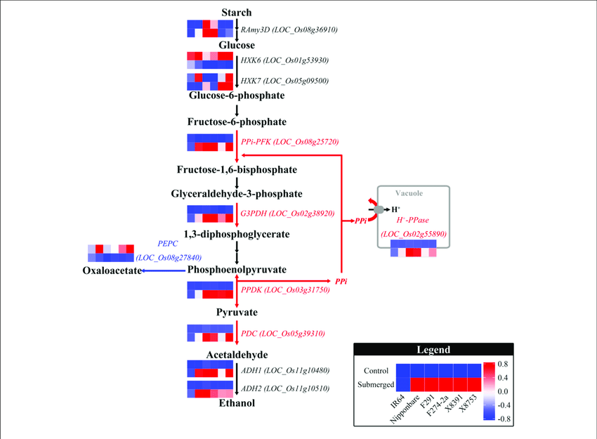stages of glycolysis and fermentation diagram avcr wiring genotypic expression genes involved in starch degradation ethanol the pathway shown this figure was modified from