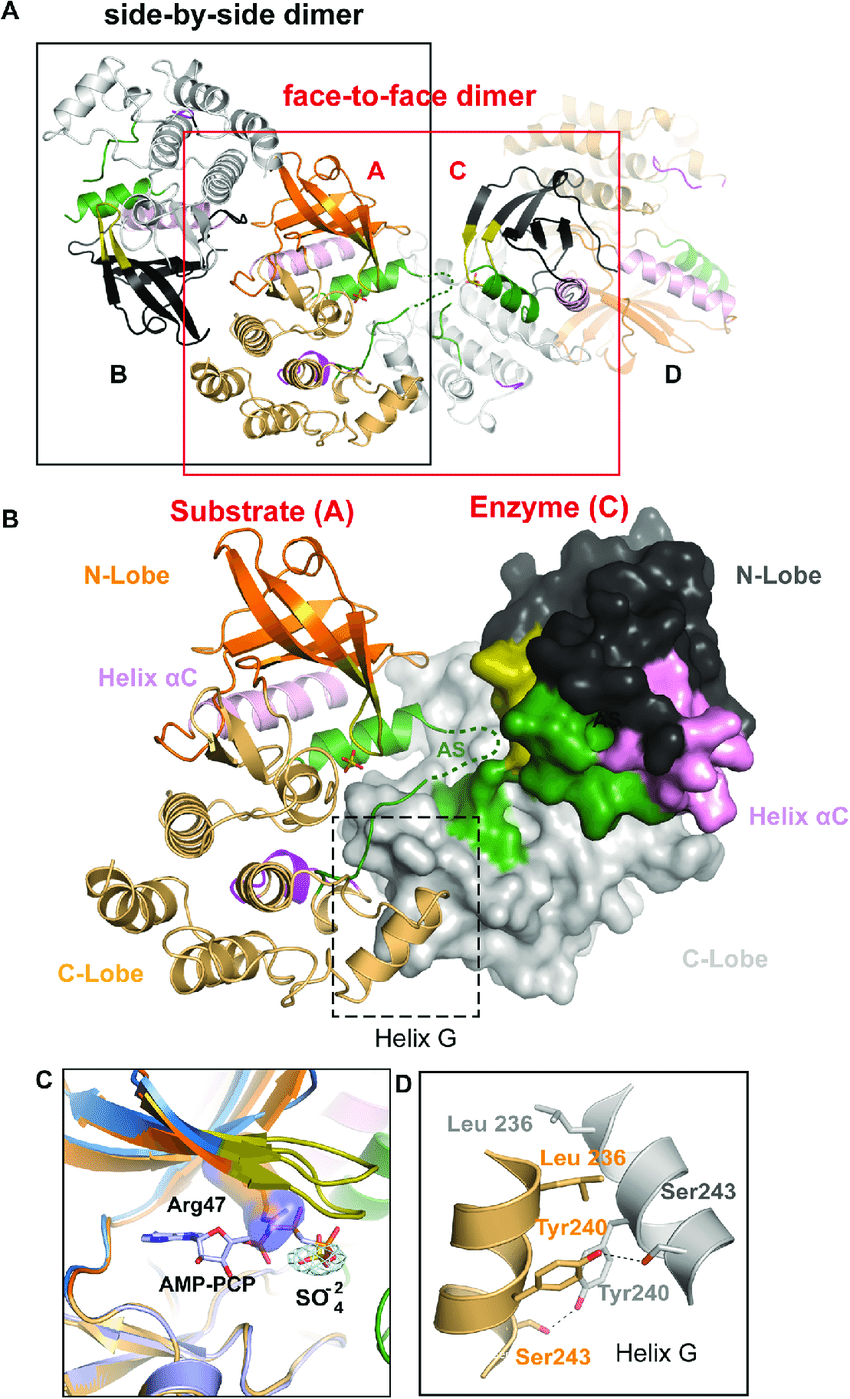 medium resolution of rip2k k47r asymmetric enzyme substrate embrace a ribbon diagram of the rip2