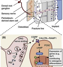 schematic diagram showing a diffusion of mg 2 across the bone toward the periosteum that is innervated by dgr sensory neurons and enriched with pdscs  [ 850 x 1214 Pixel ]