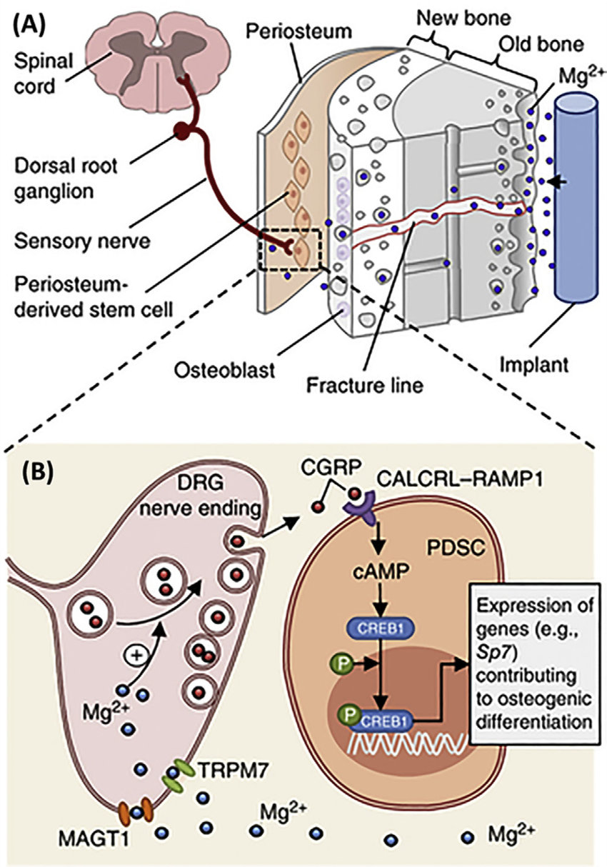 hight resolution of schematic diagram showing a diffusion of mg 2 across the bone toward the periosteum that is innervated by dgr sensory neurons and enriched with pdscs