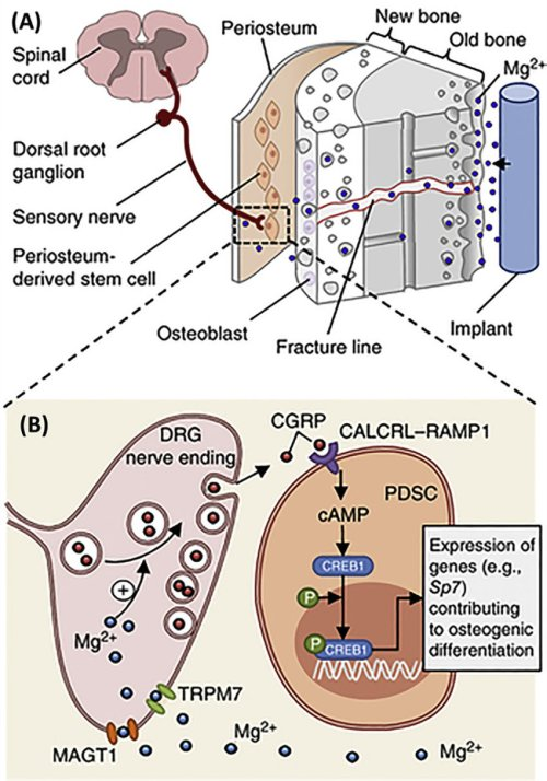 small resolution of schematic diagram showing a diffusion of mg 2 across the bone toward the periosteum that is innervated by dgr sensory neurons and enriched with pdscs
