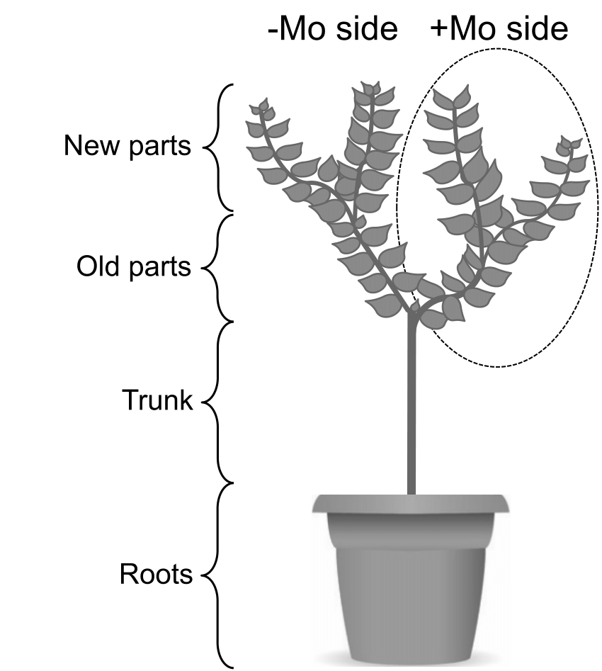 horsetail plant diagram jaguar x type wiring of foliar spray molybdenum mo in experiment 2 plants conducted to grow two scaffold branches which 0 60 g l 1 was sprayed one side