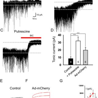 Ad-CMV-mCherry infection induces cellular hypertrophy of