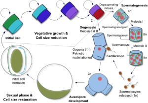 The life cycle of a centric diatom The average cell size of a   Download Scientific Diagram