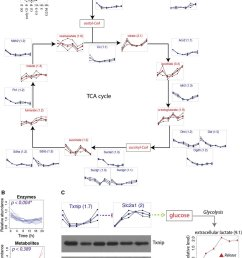 downregulation of the tca cycle and upregulation of glycolysis a schematic representation of the tca cycle with temporal profiles of enzymes and  [ 850 x 1093 Pixel ]