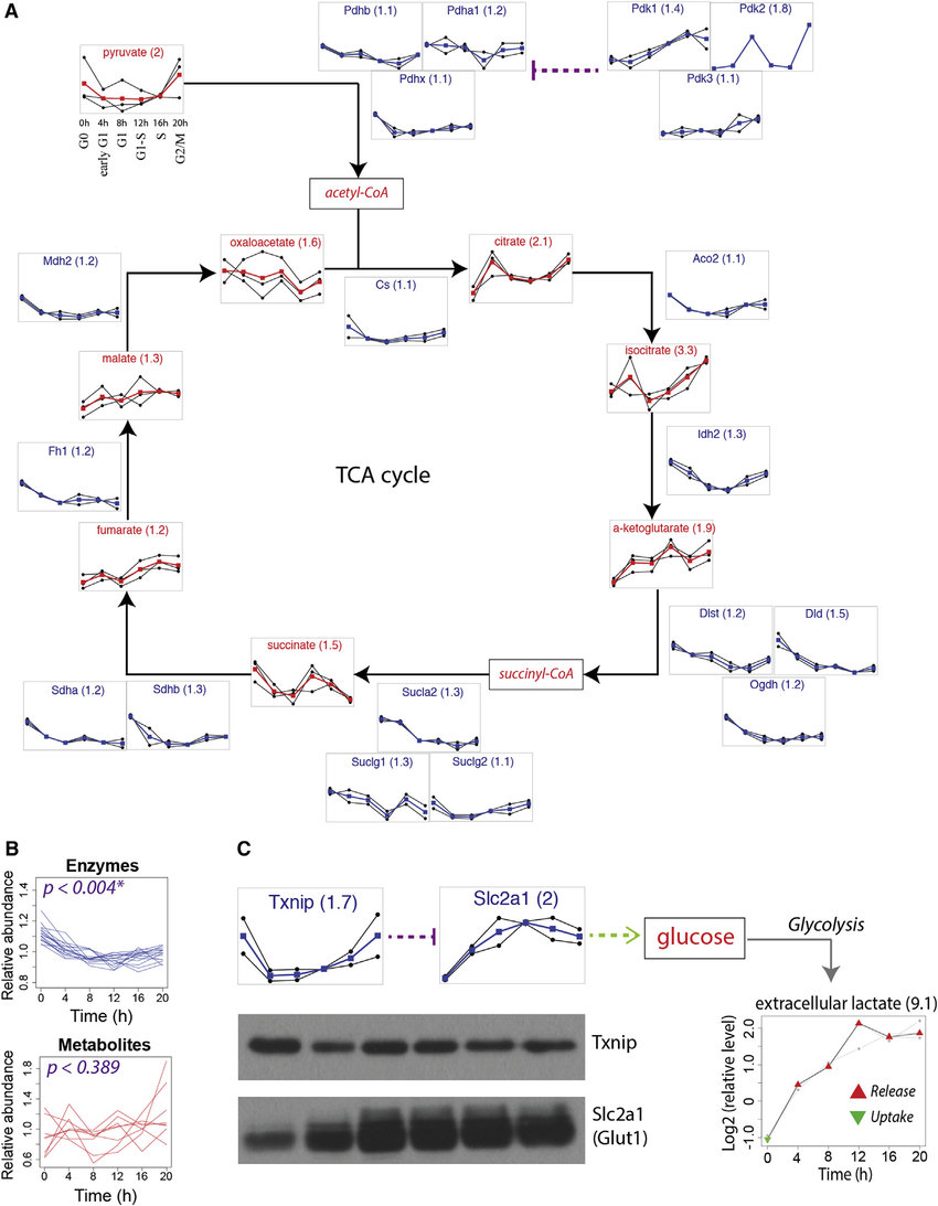 hight resolution of downregulation of the tca cycle and upregulation of glycolysis a schematic representation of the tca cycle with temporal profiles of enzymes and