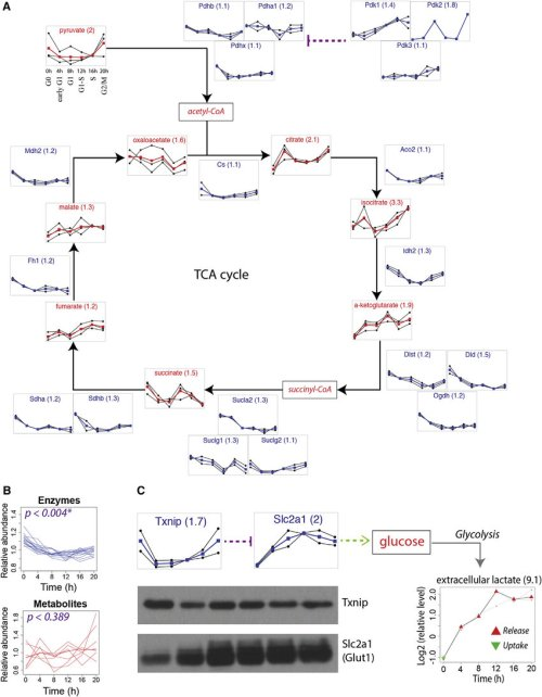 small resolution of downregulation of the tca cycle and upregulation of glycolysis a schematic representation of the tca cycle with temporal profiles of enzymes and