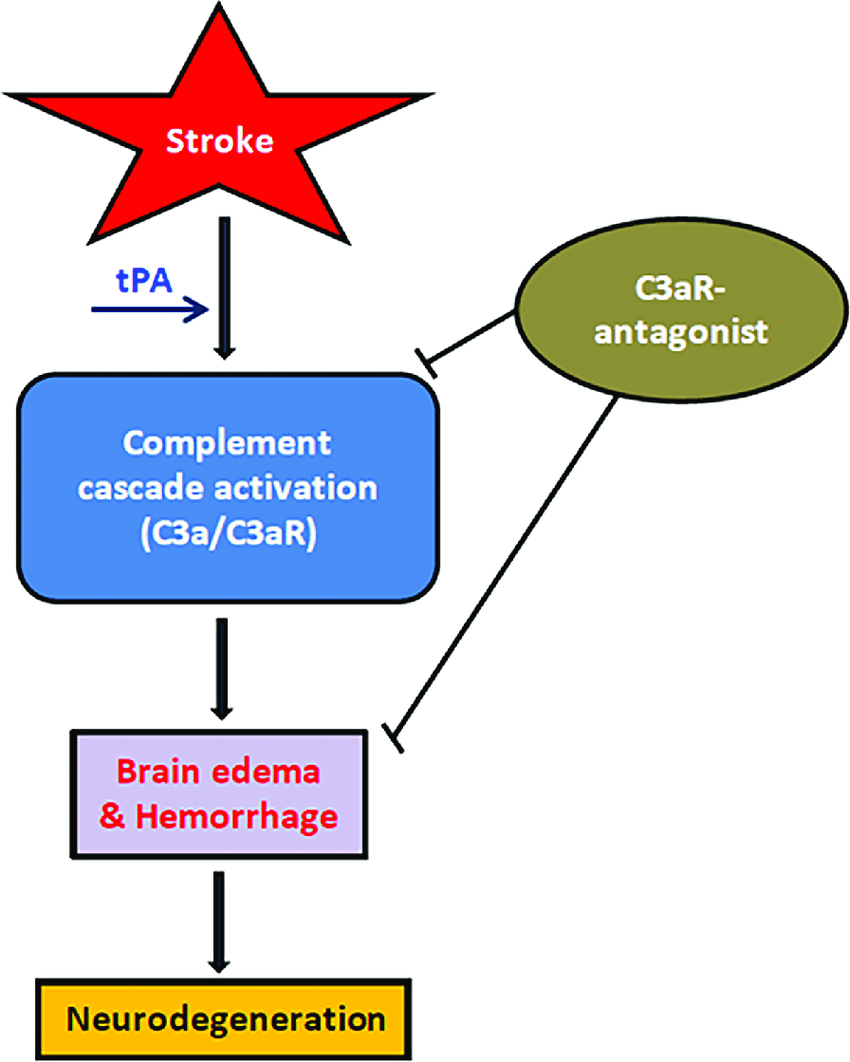hight resolution of tpa mediated complement cascade activation in stroke schematic depicting the interplay between cerebral ischemia