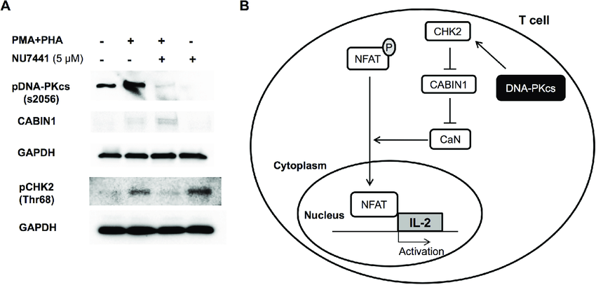 nhibition of DNA-PKcs reduces phosphorylation of CHK2 and