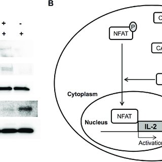 Inhibition of DNA-PKcs blocks translocation of NFAT to the