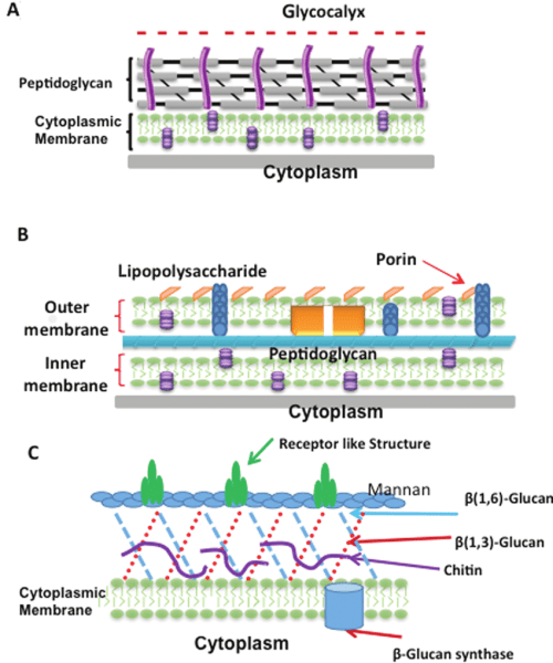 small resolution of cell wall structures of gram positive and gram negative bacteria and fungi