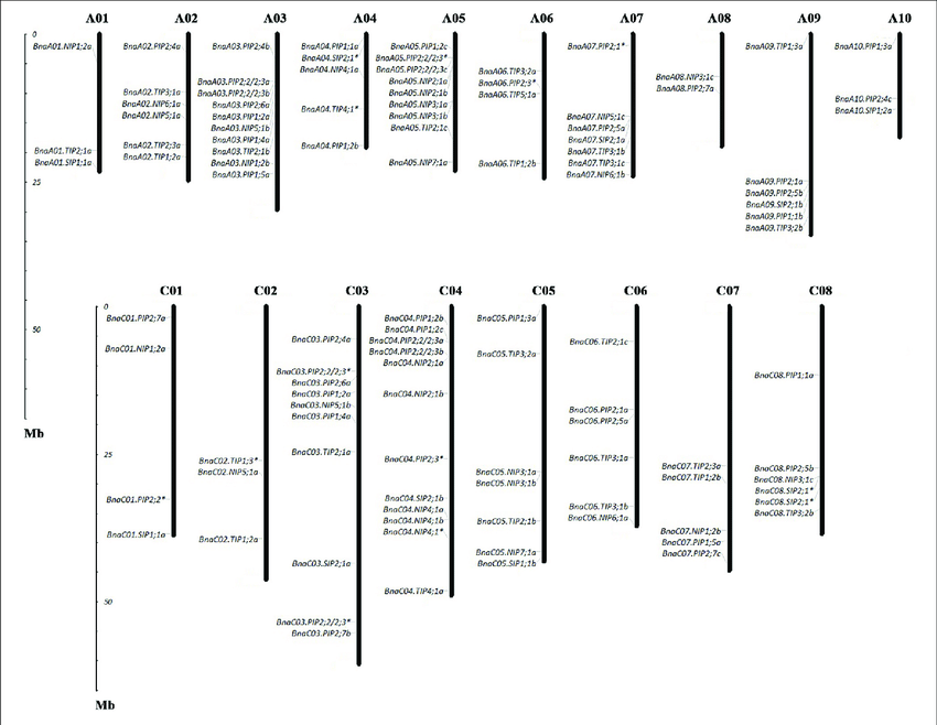 Chromosomal location of AQPs in Brassica napus. The gene
