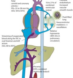 fetal circulation the placenta serves as a major buffer in reducing oxygen exposure to the [ 745 x 1324 Pixel ]